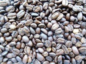 Der teuerste Kaffee der Welt: Kopi Luwak